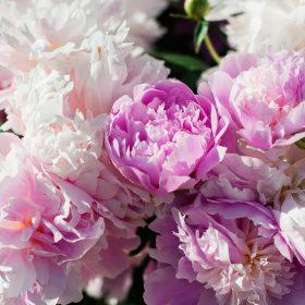 pivoine rose fleur ete soleil couchant